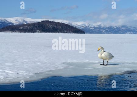 Whooper Swan (Cygnus cygnus) standing on a frozen lake, Kussharo Lake, Kawayu Onsen, Hokkaido, Japan - Stock Photo