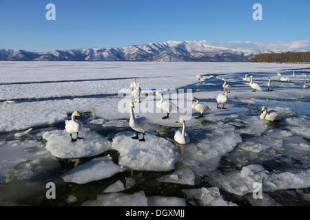 Whooper swans (Cygnus cygnus), standing on ice, Kussharo Lake, Kawayu Onsen, Hokkaido, Japan - Stock Photo