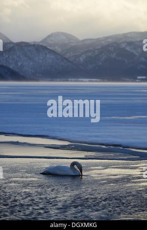 Whooper Swan (Cygnus cygnus) in the evening light, Kussharo Lake, Kawayu Onsen, Hokkaido, Japan - Stock Photo