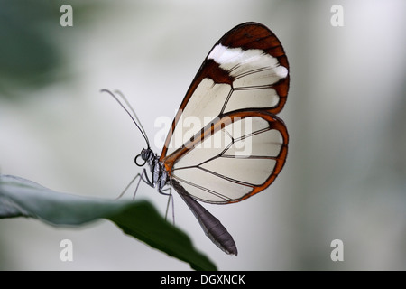 Glass wing butterfly (Greta oto), Central and South American butterfly species - Stock Photo