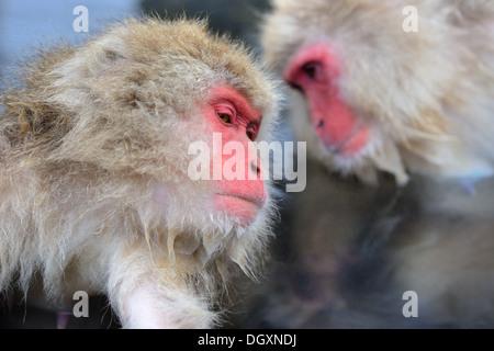 Macaques at Jigokudani Monkey Park in Nagano, Japan. - Stock Photo