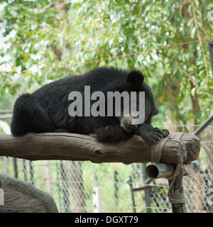 An Asiatic black bear (Ursus thibetanus), a.k.a. a moon bear, at the Phnom Tamao Wildlife Rescue Center in Phnom - Stock Photo