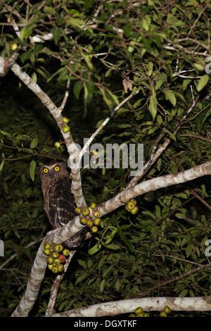 Buffy Fish Owl (Ketupa ketupu) perched in rainforest tree at night along the Kinabantangan River, also known as - Stock Photo