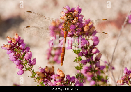 Male Moustached Darter / Vagrant Darter, Sympetrum vulgatum. Dragonfly perched on Bell Heather. France. - Stock Photo
