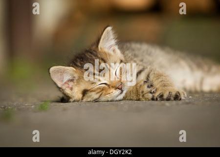 Brown-tabby kitten, farm cat, resting in the sunshine on a street, asleep, Satteldorf, Hohelohe, Baden-Württemberg, - Stock Photo