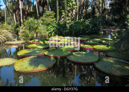 Victoria water lilies at Bok Tower Gardens, Lake Wales, Central Florida, USA - Stock Photo