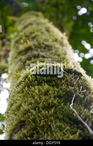 Close-up of one of the trees covered with moss and nature at the Santa Elena Biological Reserve - Stock Photo