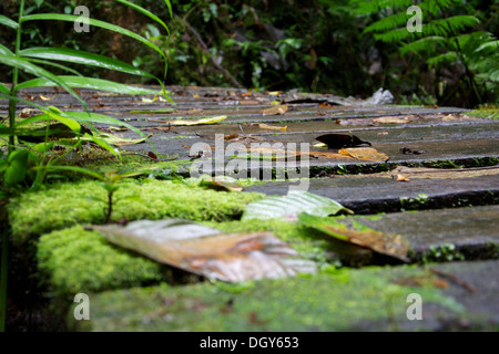 Close-up of a wooden bridge covered with moss and leaves at the Santa Elena Biological Reserve - Stock Photo