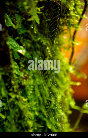 Wet tiny spider web made at a side of a tree at the Monteverde Biological Reserve. - Stock Photo