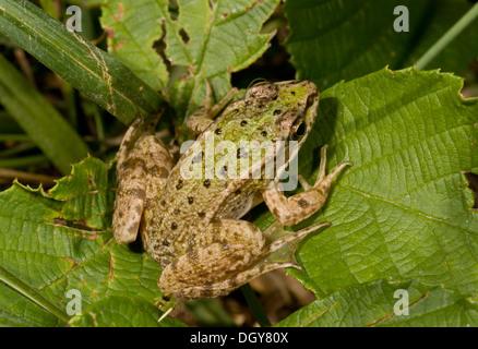 Young Edible Frog Pelophylax kl. esculentus, (Rana esculenta) Brenne, France. - Stock Photo