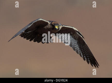 Lanner Falcon (Falco biarmicus), in flight, Giant's Castle Nature Reserve, Drakensberg, South Africa, Africa - Stock Photo