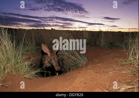Aardvark (Orycteropus afer), emerging from burrow at dusk, Tussen-die-Riviere Nature Reserve, Free State, South - Stock Photo
