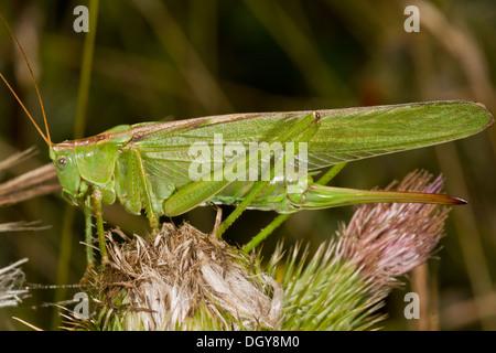 Bộ sưu tập Côn trùng - Page 7 Female-great-green-bush-cricket-tettigonia-viridissima-showing-long-dgy8m0