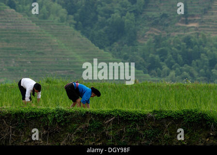 Two women of the Yao ethnic minority working on a rice field in the world-famous Longji terraced rice fields - Stock Photo