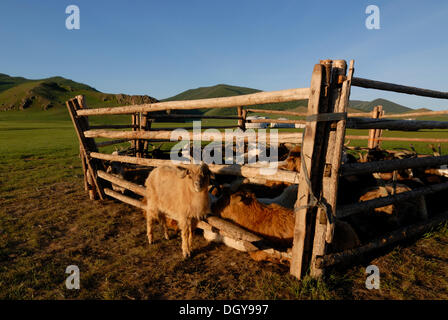 Mongolian Nomad summer camp with animal herd, goats and sheep, round tent, gers or yurts, grasslands near the Khuisiin - Stock Photo