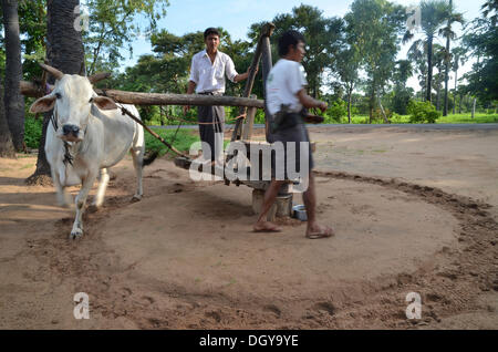 Two Burmese men in a Longyi or wrap-around skirt, and an ox which turns a simple stone mill for peanut oil production, - Stock Photo