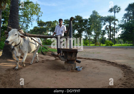 Burmese man in a Longyi or wrap-around skirt, and an ox which turns a simple stone mill for peanut oil production, - Stock Photo