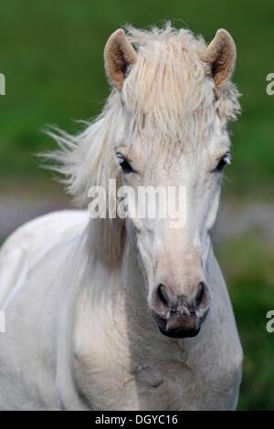 Icelandic horse (Equus ferus caballus), Snæfells peninsula, Iceland, Europe - Stock Photo