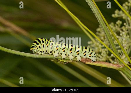 Larva of Common Swallowtail butterfly, Papilio machaon ssp britannicus, on its food-plant Milk-parsley, near Hickling, - Stock Photo
