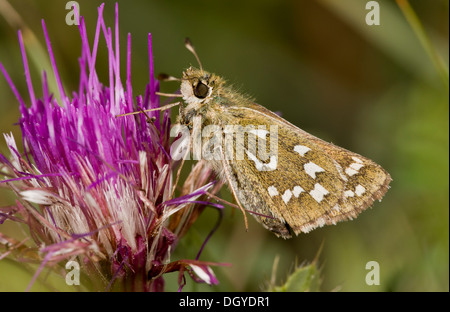 Silver-spotted Skipper butterfly, Hesperia comma feeding on Stemless Thistle; chalk downland, Hants. - Stock Photo