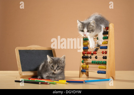 domestic cat - kitten at counting frame Stock Photo: 25931279 - Alamy
