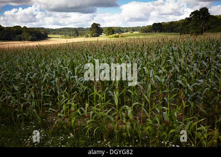 Maize crop growing at Marlston, Hermitage, Newbury, Berks - Stock Photo