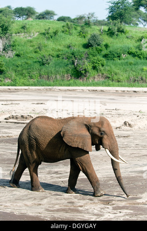 African elephant (Loxodonta africana) searching for water in a sandy river bed in Tarangire National Park, Tanzania - Stock Photo