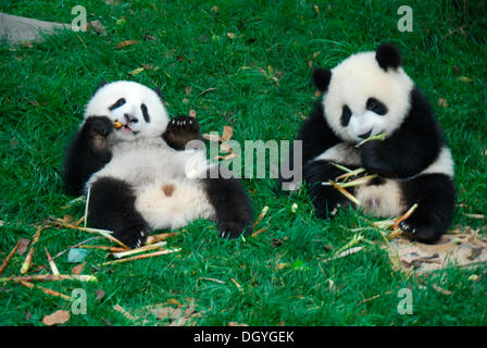 Baby Pandas (Ailuropoda melanoleuca), 8-18 months, at breakfast, Giant Pandas Breeding Research Base, Chengdu, China, - Stock Photo