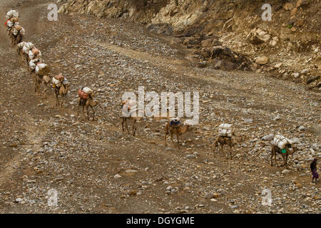 Camel caravan carrying salt from the mines in Dallol, Danakil Depression and Mekele, Ethiopia, Africa - Stock Photo