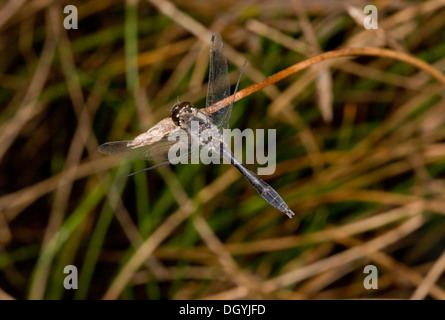 A dark male Black Darter, Sympetrum danae perched. Bog, Dorset. - Stock Photo