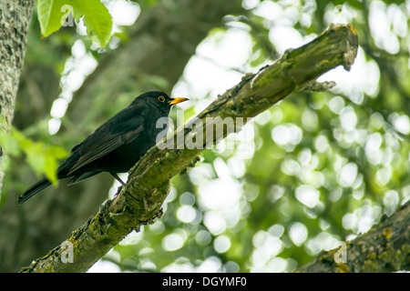 Close-up of a blackbird in a tree - Stock Photo