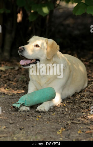 Blonde Labrador-Retriever lying on the ground with a dummy on its paws - Stock Photo