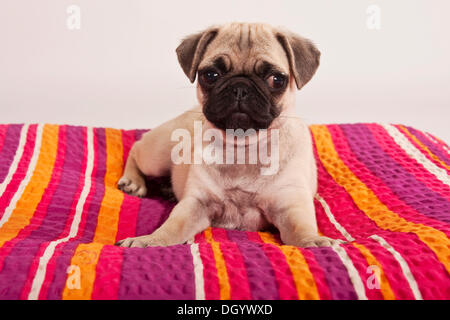 Pug puppy lying on a blanket - Stock Photo