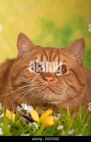British Shorthair cat, ginger tom cat, portrait - Stock Photo