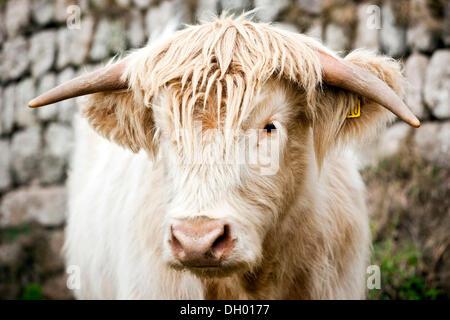 Scottish Highland Cattle, young bull, mixed-breed, Cornwall, England, United Kingdom - Stock Photo