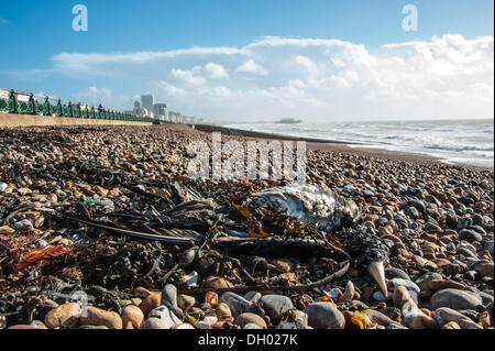 Brighton, UK. 28th Oct 2013. Casualtly of the storm - dead bird in the aftermath of the storm on Brighton beach. - Stock Photo