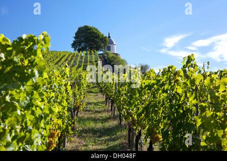 Vineyards of Schloss Wackerbarth looking on the Jacobstein pavillion, Radebeul, Saxon Elbe, Saxony - Stock Photo