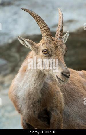 Alpine Ibex (Capra ibex), female, Alpine Zoo, Innsbruck, Tyrol, Austria, Europe - Stock Photo
