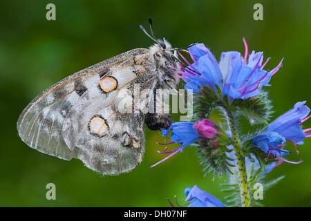 Apollo or Mountain Apollo Butterfly (Parnassius apollo), Fliess, Tyrol, Austria, Europe - Stock Photo