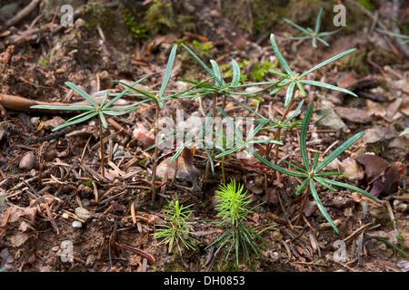 Seedlings of Norway Spruce (Picea abies), front, seedlings of Silver Fir (Abies alba), rear, Hopfgarten, Tyrol, - Stock Photo