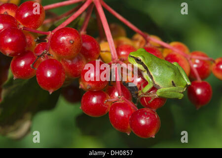 European Tree Frog (Hyla arborea) on Guelder Rose, Water Elder or European Cranberrybush (Viburnum opulus), Loar, - Stock Photo