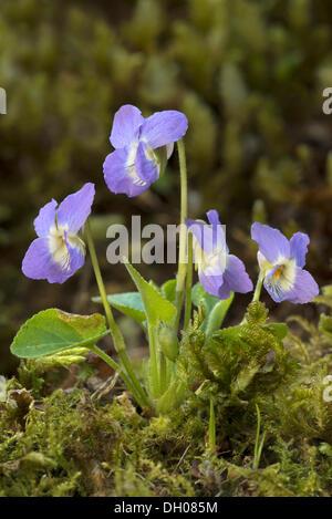 Hairy violet (Viola hirta), Tiefenbach-Klamm gorge, Kramsach, Tyrol, Austria, Europe - Stock Photo