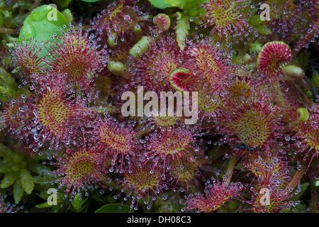 Common sundew (Drosera rotundifolia), Filz, Woergl, Austria, Europe Stock Photo