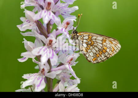 Heath Fritillary Butterfly (Melitaea athalia) on Common Spotted Orchid (Dactylorhiza fuchsii), Hopfgarten, Tyrol, - Stock Photo