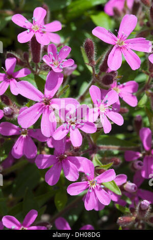 Rock Soapwort or Tumbling Ted (Saponaria ocymoides), Piller ridge, Fliess, Kaunertal valley, Tyrol, Austria, Europe - Stock Photo
