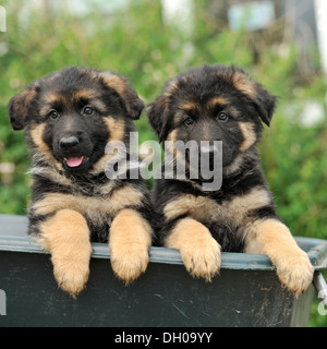 two german shepherd dog puppies - Stock Photo