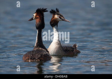 Two Great crested grebes (Podiceps cristatus) in courtship, Munich, Upper Bavaria, Bavaria, Germany - Stock Photo