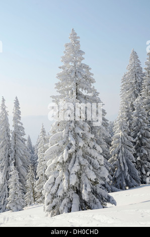 Snow-covered Spruce trees (Picea abies) in a winter landscape, near Elbach, Leitzachtal valley, Upper Bavaria - Stock Photo