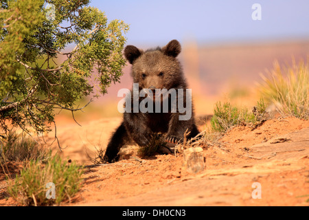 Grizzly Bear (Ursus arctos horribilis) ,cub, Utah, United States - Stock Photo