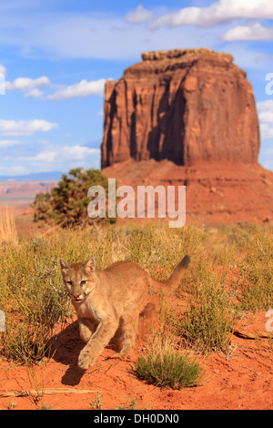 Puma, Cougar or Mountain Lion (Puma concolor), adult, running, captive, characteristic rock formation at the rear - Stock Photo